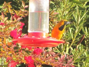 Gray Head, an over-wintering Hooded Oriole (photo Bob Bowers)