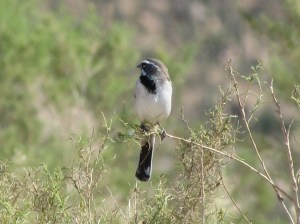 Black-throated Sparrow in Arizona's Sonoran Desert