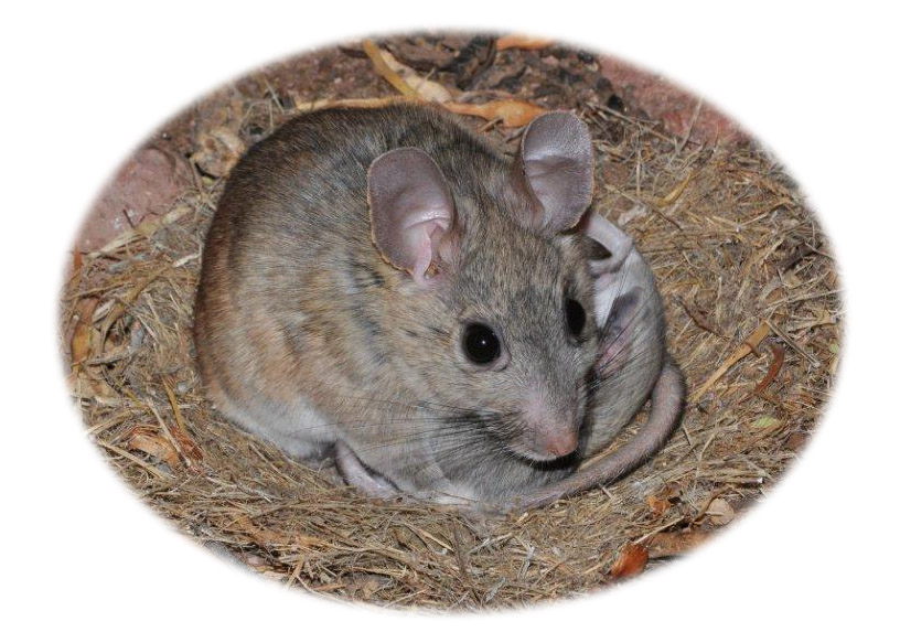 how to get rid of pack rats in arizona | birdingthebrookeandbeyond