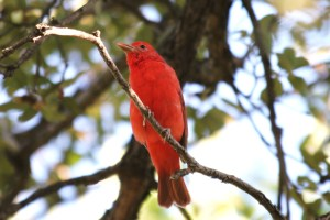 Male Summer Tanager, Peppersauce Campground, Arizona  (photo Bob Bowers)