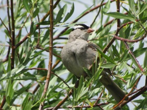 The White-crowned Sparrow a winter migrant found on many Arizona CBCs (photo Bob Bowers)