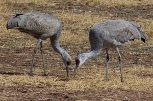 Sandhill Cranes are the main attraction at Wings Over Willcox (photo Charlie Thiel)
