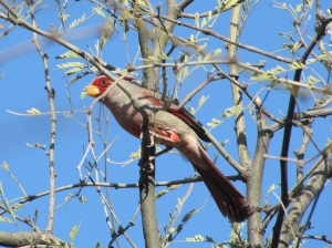 Pyrrhuloxia, a target bird at Arizona birding festivals (photo Bob Bowers)
