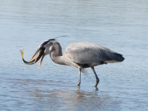 Great Blue Heron carp fishing at Gilbert Water Ranch (photo Bob Bowers)