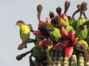 Lesser Goldfinch feeding on Saguaro fruit (photo Bob Bowers)