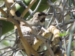 Anna's Hummingbird nesting in  Palo Verde (photo Bob Bowers)