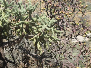 The 'Pack' Rat's favorite food, cholla cactus (photo Bob Bowers)
