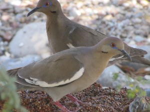 White-winged Doves on seed block (photo Bob Bowers)