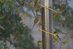 Female Lawrence's Goldfinch and two Lesser Goldfinches below on thistle feeder (photo Bob Bowers)
