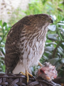 Juvenile Cooper's Hawk with Mourning Dove (photo Bob Bowers)