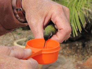 Lazarus feeding from a cup of sugar water (photo Prudy Bowers)