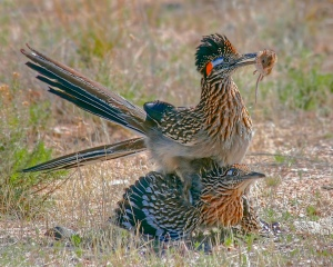 Enraptured Roadrunners (photo copyright Bill George)