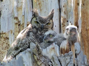 In the end, it's all about babies, as shown by these Great Horned Owls (photo Bob Bowers)