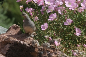 Mother Gambel's Quail and babies in Mexican primrose (photo Bob Bowers)
