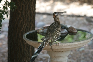 A roadrunner in waiting (photo Bob Bowers)
