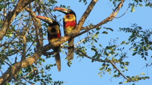 Fiery-billed Aracaris (Photo Prudy Bowers)