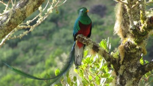 Resplendent Quetzal (photo Bob Bowers)