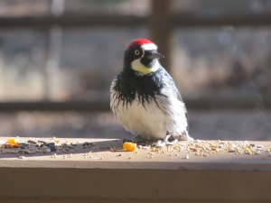 Acorn Woodpecker at Pinetop-Lakeside, Arizona (photo Bob Bowers)