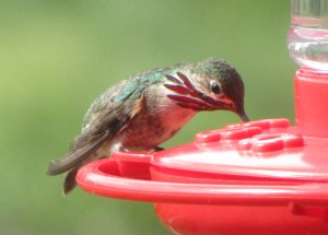 North America's smallest bird, the Calliope Hummingbird (photo Bob Bowers)