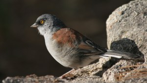 Yellow-eyed Junco on Mt. Lemmon, Arizona (photo Bob Bowers)