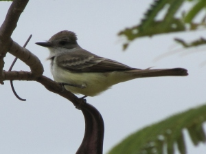 Ash-throated Flycatcher (photo Bob Bowers)
