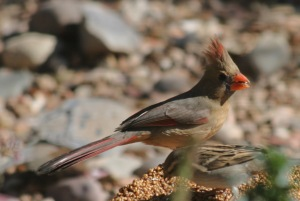 A Female Northern Cardinal could be Confused with a Pyrrhuloxia (photo Bob Bowers)