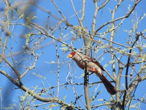 A Male Pyrrhuloxia with Bright Red Face and Yellow Bill (photo Bob Bowers)