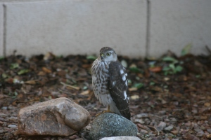 A Sharp-shinned Hawk, Trying to Look Innocent and Harmless (photo Bob Bowers)