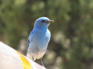 Mountain Bluebird (photo Bob Bowers)