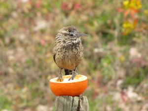 Young Cactus Wren, dazed and confused (photo Bob Bowers)
