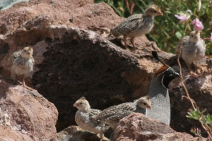 Precocial Gambel's Quail babies with dad (photo Bob Bowers)