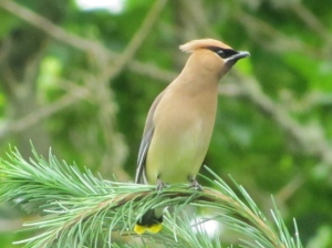 Cedar Waxwings became a yard bird for us this year (photo Bob Bowers)