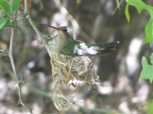 Nesting Broad-billed Hummingbird in Catalina State Park (photo Bob Bowers)