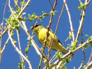 A daily visitor to our SaddleBrooke yard, the Lesser Goldfinch (photo Bob Bowers)