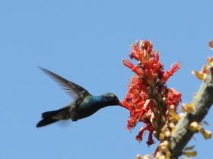 Male Broad-billed Hummingbird at Ocotillo in April (photo Bob Bowers)