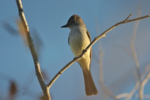 Nutting's Flycatcher, Estero del Yugo, Mexico (photo Bob Bowers)