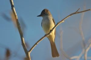 Nutting's Flycatcher, Estero del Yugo, Mexico (photo Bob Bowers)