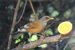 Rufous-backed Robin, Alamos, Mexico (photo  Bob Bowers)