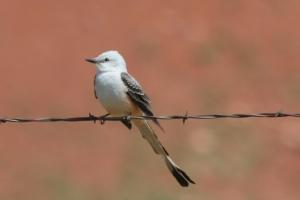 Scissor-tailed Flycatcher, Oklahoma (photo Bob Bowers)