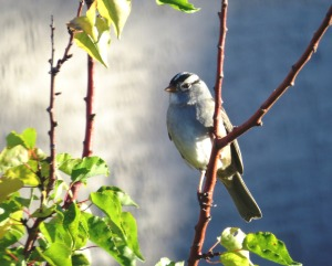 The White-crowned Sparrow signals the arrival of fall in SaddleBrooke, Arizona (photo Bob Bowers)