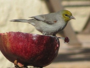 Pomegranates are a sure way to attract Verdins and many other birds (photo Bob Bowers)