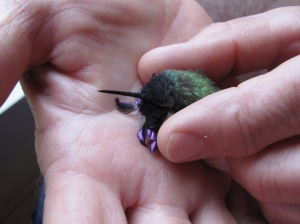 A lifeless Costa's Hummingbird begins to revive (photo Prudy Bowers)
