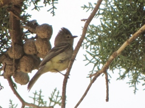 This Northern Beardless- Tyrranulet is on the Santa Cruz River in Mexico (photo Bob Bowers)