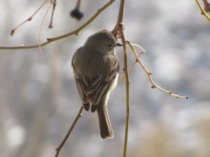Hummingbird-sized Northern Beardless-Tyrranulet (photo Bob Bowers)