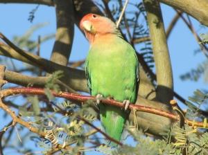 A curious Rosy-faced Lovebird at Gilbert Water Ranch, Arizona (photo Bob Bowers)