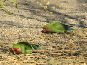 Lovebirds foraging on the ground at Gilbert Water Ranch, Arizona (photo Bob Bowers)