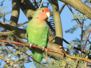Also known as the Peach-faced Lovebird and recognized by the AOU for life-listers (Photo Bob Bowers)
