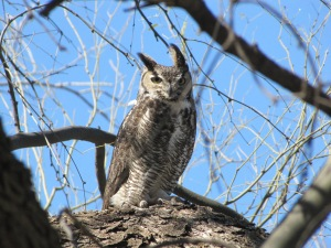 The hoot-hoot of the Great Horned Owl adds a spooky note to spring (Photo Bob Bowers)