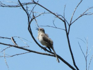 A Northern Mockingbird's song can be identified by its repetitive short phrases (Photo Bob Bowers)