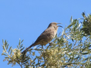 The Curve-billed Thrasher's spring song is chaotic and unending (Photo Bob Bowers)